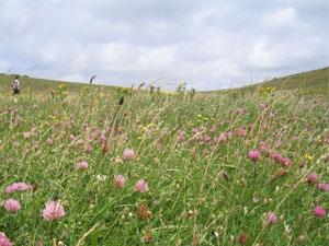 Wild Flowers at the Seven Sisters