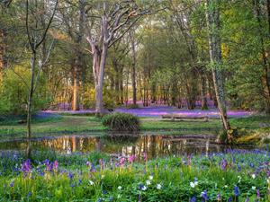 Bluebells at the Lower Pond