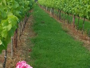 Downsview Vineyard