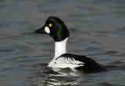 Goldeneye at RSPB Conwy Nature Reserve