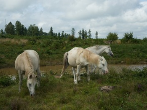 Wild ponies grazing at Beacon Hill