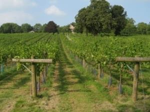 Ancre Hill Vineyard