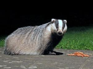 Badger on the patio