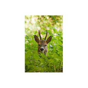 Hidden Norfolk - Roe Deer