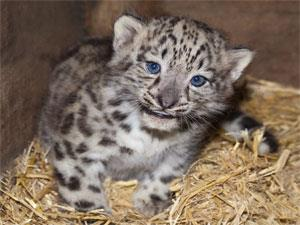 Snow Leopard Cub born in 2015