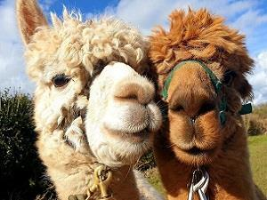 Charnwood Forest Alpacas