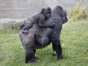Gorillas at Twycross Zoo