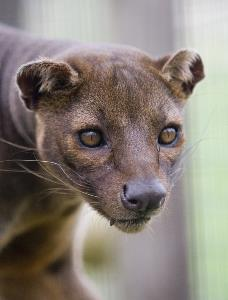 Fossa at Folly Farm