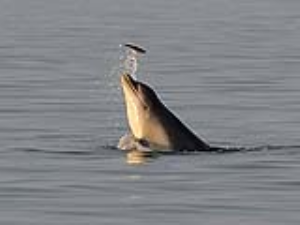 Bottlenose dolphin flipping a fish