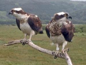 Dyfi Ospreys
