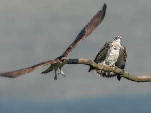 Dyfi Ospreys Summer 2020