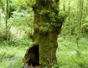 Cwm Byddog Tree