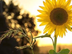 Porth Farm Sunflowers