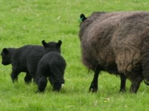 Pen-Y-Wyrlod Lamb