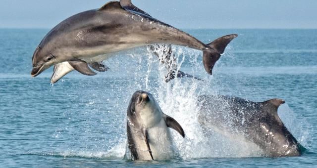 A group of bottlenose dolphins breaching