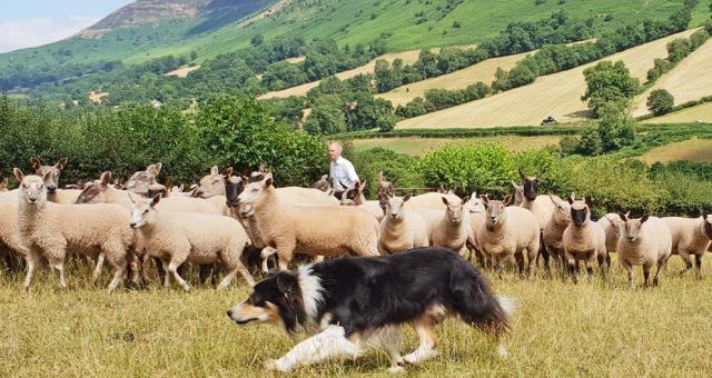 Sheep Dog experience in Wales