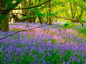 Bluebell Weeks