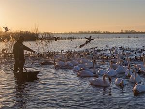 WWT Welney Swan Feed (by Sacha Dench)