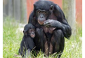 Bonobos at Twycross Zoo