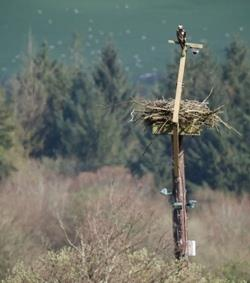 Male osprey before return of female